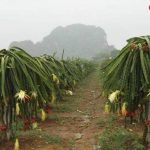 Vuon-thanh-long-Lang-Soi-in-Farm-Resort
