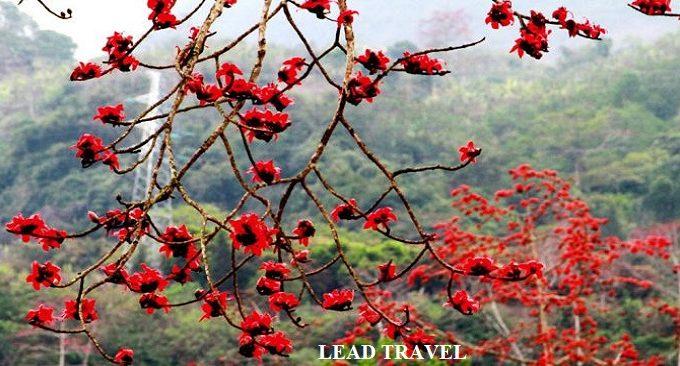 hoa gạo Hà Giang