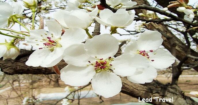 Mùa hoa mận Mộc Châu tháng mấy