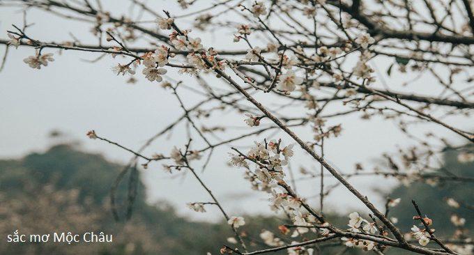 mộc châu mùa hoa