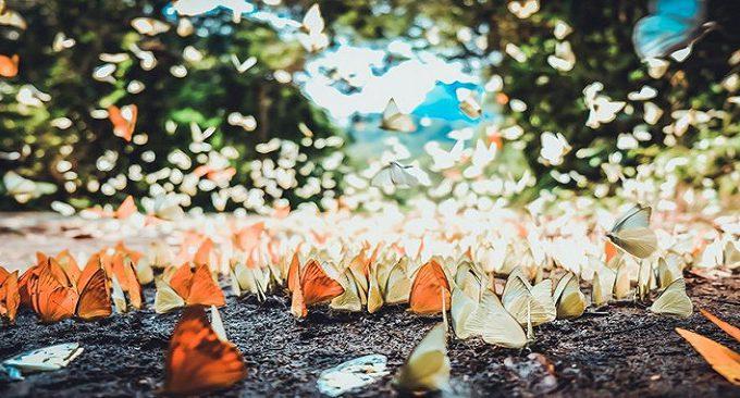 du lịch Ninh Bình - mùa bướm Cúc Phương