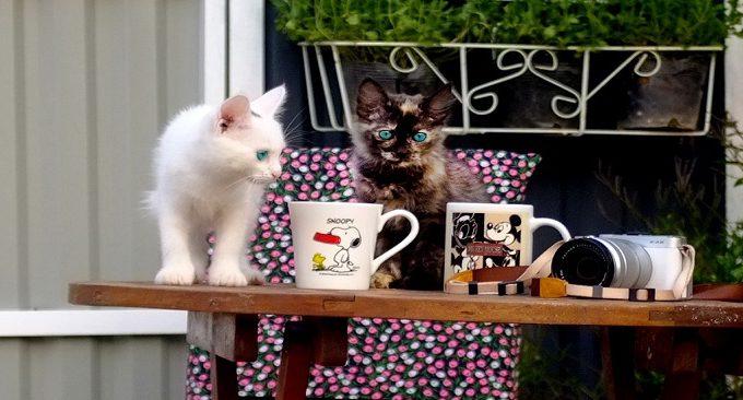 hãy ghé Mộc Châu Cottage Homestay để thưởng trà cũng những chú mèo nhé