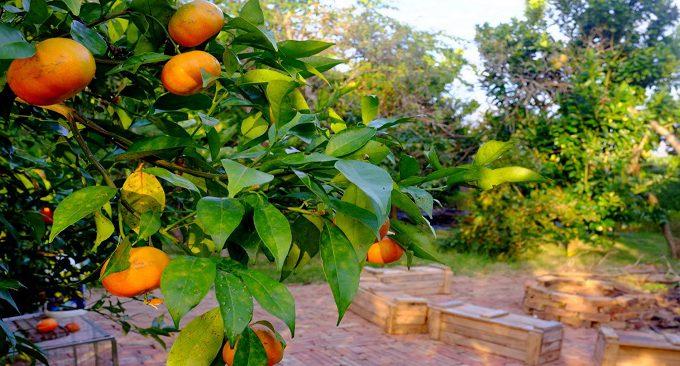vườn cây trĩu quả