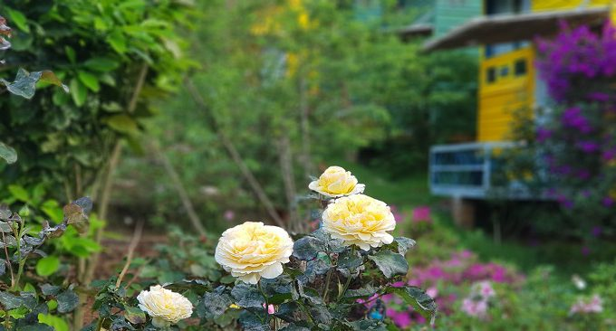 vườn hồng Stella có tới hơn 4000 gốc hồng các loại